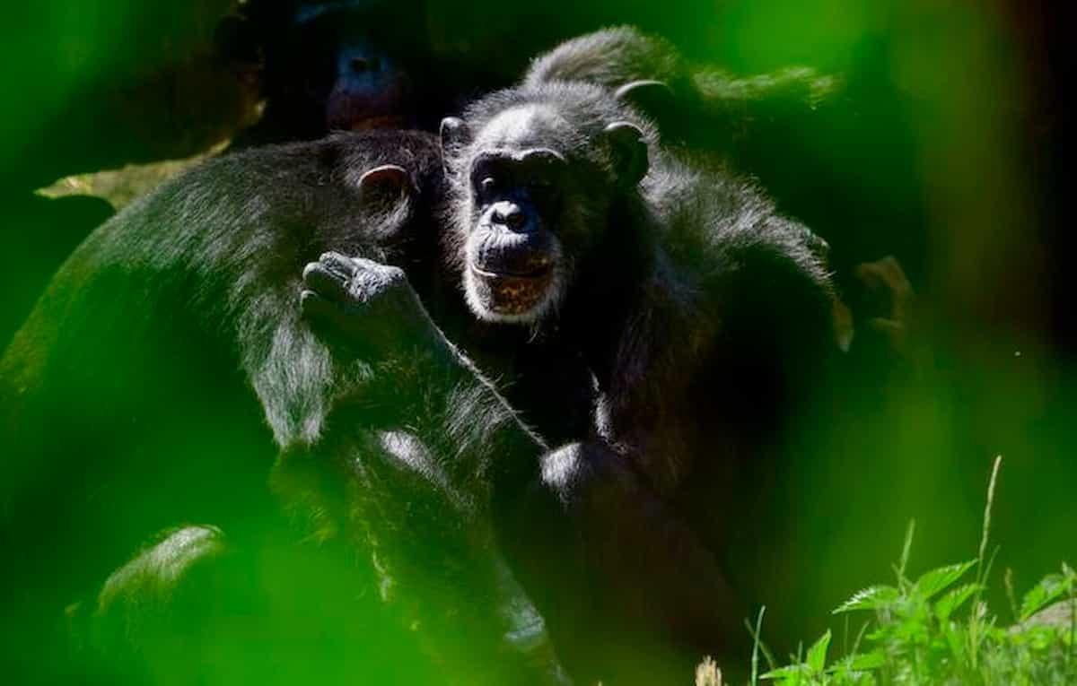 Scimpanz e gorilla combattono tra loro e si ammazzano mai successo clima pazzo riduce il cibo E luomo