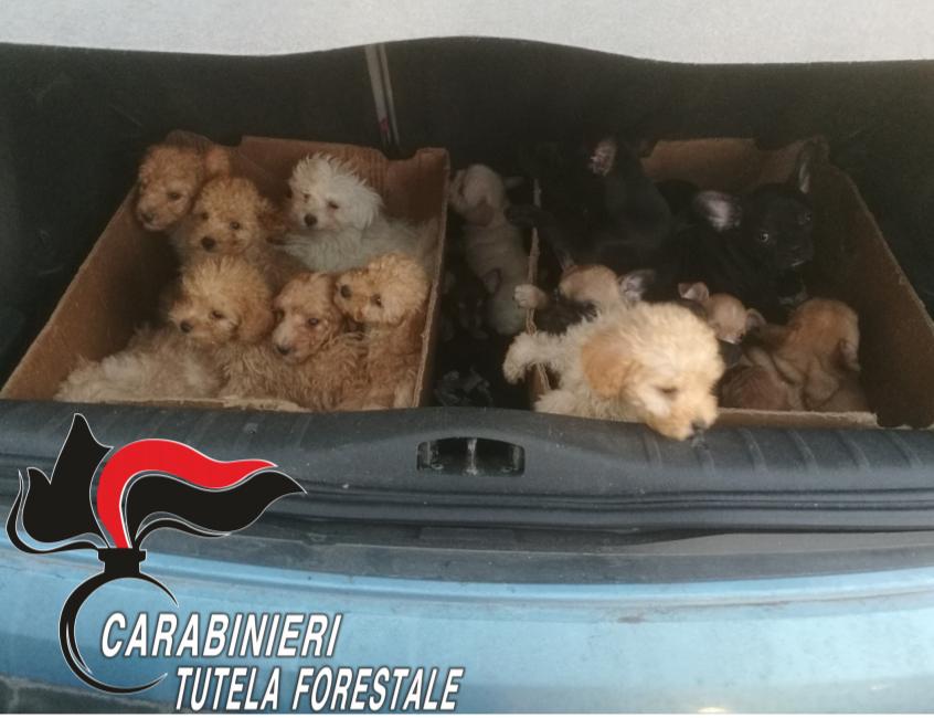 Lodi. Scoperto un traffico illegale di cuccioli dall'Est Europa: quattro arresti