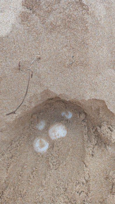 Ambiente: altro nido tartaruga Caretta Caretta nel Ragusano