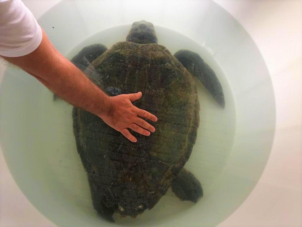 Messina, apre il Centro di Primo Soccorso per le tartarughe marine: tre esemplari ricoverati, uno, curato da occlusione intestinale, verrà ...