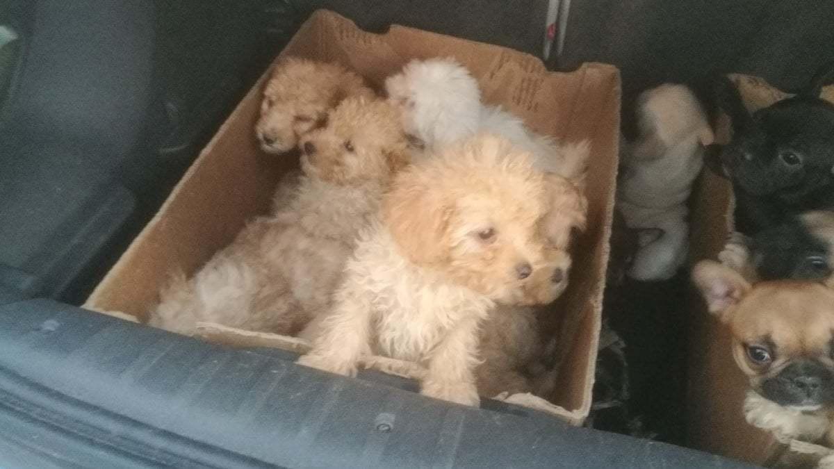 Vendevano cuccioli di razze rare importati illegalmente con lunghi viaggi dall'Est Europa: cinque arresti