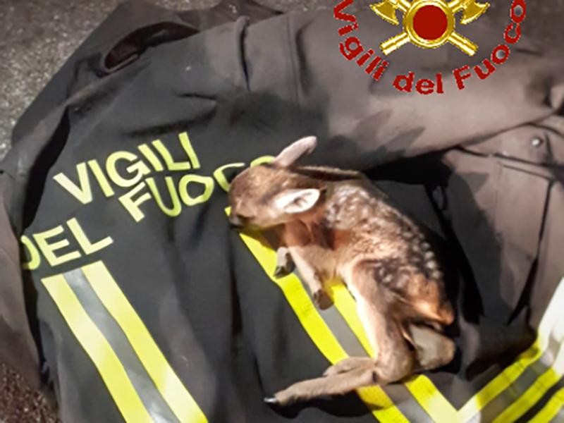 Un torello caduto al Cainallo e un cucciolo di cerbiatto ferito, soccorsi dai pompieri