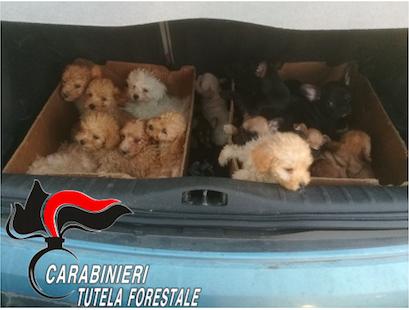 Traffico illecito di cuccioli di razza dall'Est Europa: quattro misure cautelari