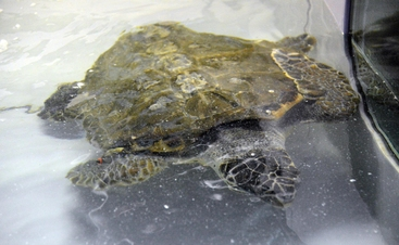 Tartaruga caretta salvata da diportista
