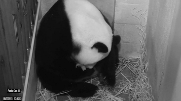 Zoo di Washington, morto cucciolo panda