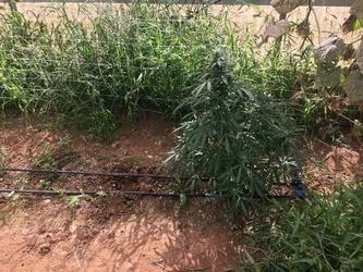 Serra con marijuana a Sestu, un indagato