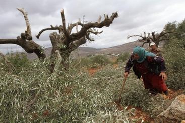 Mo: uliveti devastati, accuse a coloni