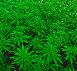 Droga coltivata in residence sequestrato
