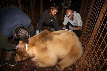 Catturato orso in Carnia, sarà monitorato grazie a collare