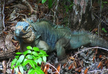 Blue Iguana on Wilderness Trail at QEII Botanic Park