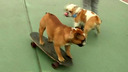 Bulldog spericolati su skateboard in Perù