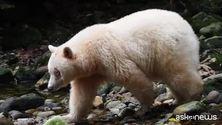 Storica vittoria di Greenpeace, salva la Foresta del grande Orso
