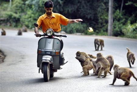 scimmie india