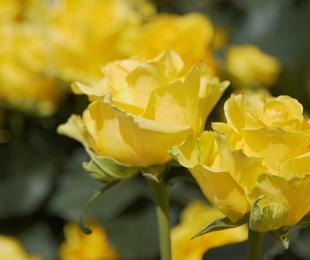 I fiori e la rinascita: l'iniziativa di Buscema sul campo e con un