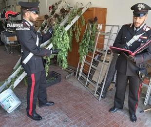 Piantagione di marijuana a Ribera: un arresto