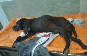 Uccide il cane legato all'auto, gogna social per le avvocatesse che lo difendono